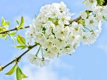 Czereśniowy kwiatu tło fotografia royalty free