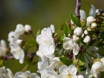 Czereśniowy kwiatu tło obrazy royalty free