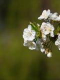 Czereśniowy kwiatu tło zdjęcie royalty free