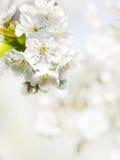 Czereśniowy kwiatu tło obraz stock