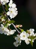 Czereśniowy kwiatu tło obraz royalty free