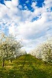 Czereśniowy kwitnący sad z dandelions Fotografia Royalty Free