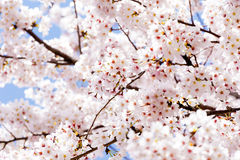 Czereśniowy kwitnienie w Południowym Korea podczas wiosna sezonu Zdjęcia Royalty Free