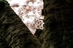 Czereśniowy kwitnienie w Południowym Korea podczas wiosna sezonu Fotografia Stock