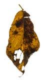 Czereśniowy liść Obraz Stock