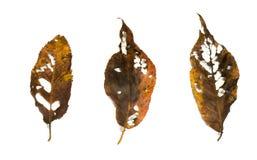 Czereśniowy liść Zdjęcia Stock