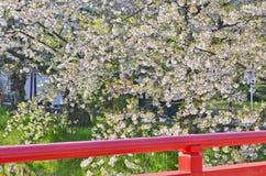 Czereśniowy okwitnięcie i czerwień most w Japonia Fotografia Stock