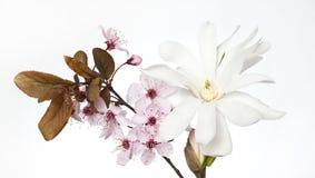 Czereśniowy okwitnięcie i magnoliowy kwiat Fotografia Royalty Free
