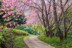 Czereśniowy okwitnięcie i Sakura na drodze fotografia stock
