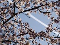 Czereśniowy okwitnięcie i samolotowy ślad fotografia royalty free