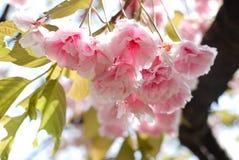 czereśniowy okwitnięcie kwiat Sakura Obraz Royalty Free