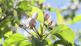 Czereśniowy okwitnięcie Kwiaty zbiory
