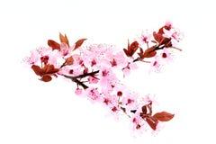 Czereśniowy okwitnięcie kwiaty różowią wiosna zdjęcia royalty free