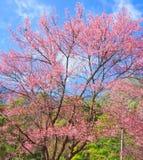 Czereśniowy okwitnięcie lub Sakura zdjęcia royalty free