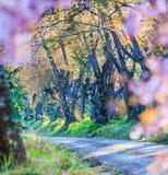 Czereśniowy okwitnięcie lub Sakura fotografia royalty free