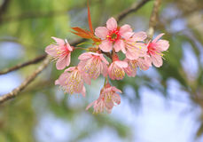 Czereśniowy okwitnięcie lub Sakura Zdjęcie Stock
