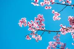 Czereśniowy okwitnięcie lub Sakura kwiat z niebieskim niebem Zdjęcia Royalty Free