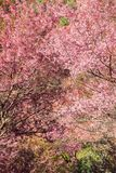 Czereśniowy okwitnięcie lub Sakura kwitniemy przy Khun Chang Kian, Zdjęcie Royalty Free