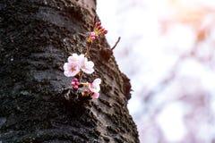 Czereśniowy okwitnięcie lub Sakura w wiośnie Obrazy Stock