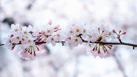 Czereśniowy okwitnięcie lub Sakura w wiośnie Fotografia Stock