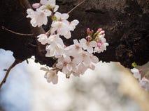 Czereśniowy okwitnięcie na drzewie w Japonia Zdjęcie Stock