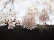 Czereśniowy okwitnięcie na drzewie w Japonia Zdjęcie Royalty Free