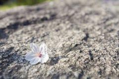 Czereśniowy okwitnięcie opuszczał na ziemi (Sakura) Obraz Royalty Free