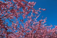 Czereśniowy okwitnięcie przeciw niebieskiemu niebu obraz royalty free