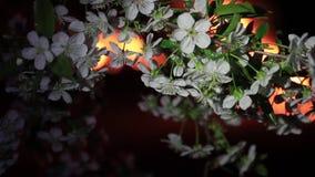 Czereśniowy okwitnięcie przeciw płonącemu ogieniowi zdjęcie wideo
