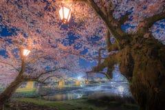 Czereśniowy okwitnięcie przy Kintaikyo mostem, Japonia Obraz Royalty Free