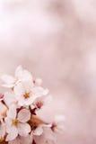 Czereśniowy okwitnięcie (Sakura) Obraz Stock