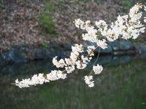 Czereśniowy okwitnięcie, Sakura/ Obrazy Royalty Free