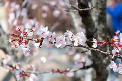 Czereśniowy okwitnięcie, Sakura kwiaty Obrazy Royalty Free