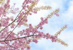 Czereśniowy okwitnięcie, Sakura kwiaty Obrazy Stock