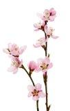 Czereśniowy okwitnięcie, Sakura kwiaty odizolowywający Fotografia Stock