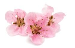 Czereśniowy okwitnięcie, Sakura kwiaty odizolowywający Obraz Royalty Free