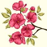 Czereśniowy okwitnięcie Sakura kwiaty szczegółowy rysunek kwiecisty pochodzenie wektora Gałąź z kwiatami Obrazy Royalty Free