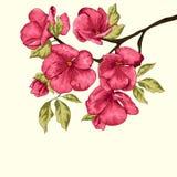 Czereśniowy okwitnięcie Sakura kwiaty szczegółowy rysunek kwiecisty pochodzenie wektora Gałąź z kwiatami Fotografia Stock