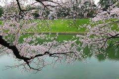 Czereśniowy okwitnięcie Sakura rozgałęzia się blisko rzeki Obrazy Stock