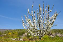 Czereśniowy okwitnięcie w Jerte dolinie, Caceres spain wiosna Zdjęcia Royalty Free