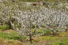 Czereśniowy okwitnięcie w Jerte dolinie, Caceres spain wiosna Obrazy Stock