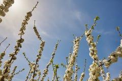 Czereśniowy okwitnięcie w Jerte dolinie, Caceres spain wiosna Zdjęcie Royalty Free