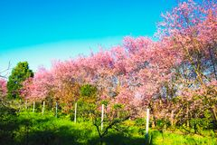 Czereśniowy okwitnięcie w kwitnienie kwiatów natury krajobrazu tle Obrazy Stock