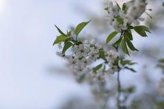 Czereśniowy okwitnięcie w ogródzie Obrazy Royalty Free