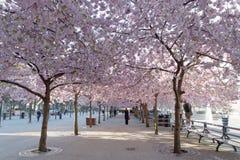 Czereśniowy okwitnięcie w parkowym Kungstradgarden Obraz Royalty Free
