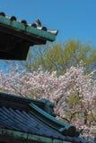 Czereśniowy okwitnięcie w Tokio imperiału pałac fotografia stock