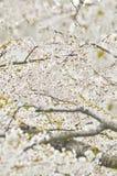 Czereśniowy okwitnięcie w wiosna czasie Japonia Obraz Royalty Free