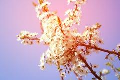 Czereśniowy okwitnięcie - wiosna, menchia cień, może Fotografia Stock