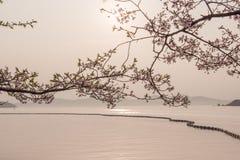 Czereśniowy okwitnięcie z jeziornym widokiem Obrazy Royalty Free