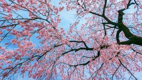 Czereśniowy okwitnięcie z Miękką ostrością, Sakura sezon w wiośnie Obraz Royalty Free